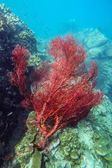 Red sea fan in coral reef — Stock Photo
