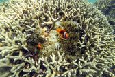 Clownfishes ocellaris — Foto Stock