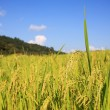 Harvest Paddy Rice field — Stock Photo