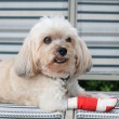 Injured Shih Tzu with red bandage — Stock Photo #39086377