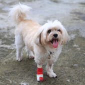 Portrait of Injured Shih Tzu wrapped by red bandage — Stock Photo