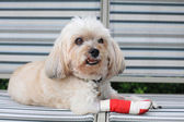 Injured Shih Tzu with red bandage — Stock Photo