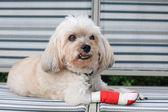 Injured Shih Tzu with red bandage — Stock Photo