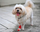 Injured Shih Tzu — Stock Photo