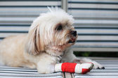 Injured Shih Tzu leg — Stock Photo