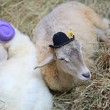 Stock Photo: Sheep with hats on straw