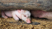 Pink piglet resting — Stock Photo