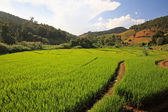 Terrace harvest rice fields in Chaing Mai — Stock Photo