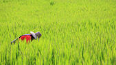 Thai farmer reaping harvest rice — Stock Photo