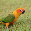 Sun Conure parrot bird — Stock Photo