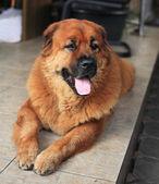 Chaw chaw mix breed dog — Стоковое фото