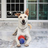 Labrador Mix Dog staring and playing balls — Stockfoto