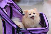 小さなポメラニアン犬 — ストック写真