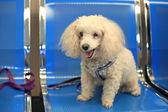 Puddle dog sitting on blue seat  — Foto de Stock