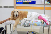 Injured Golden retriever with pink bandage on wheelchair after S — Stock Photo