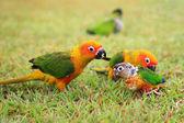 Sun Conure parrot family  — Stock Photo