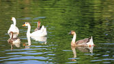 Goose and duck swimming  — Stock Photo