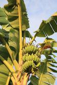 Banany na drzewo — Zdjęcie stockowe