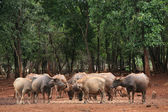 Buffaloes and calfs in the forest — 图库照片