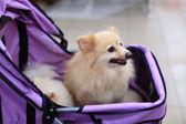 Small pomeranian dog on the stroller — Stock Photo