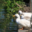 White ducks standing near the pond — Stock Photo