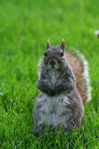 Squirrel standing on yard  — Stock Photo
