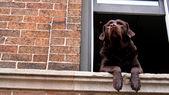 Brown labrador retriever dog at the window — Stock Photo