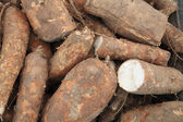 Cassava bulb — Stock Photo