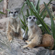 Suricate family - meerkat family - Stock Photo