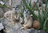 Suricate family - meerkat family — Stock Photo
