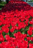 Champ de tulipes fleurs — Photo