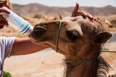 Baby camel drinks water — Stock Photo