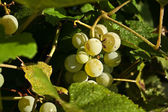 Dottie's grapes — Stock Photo