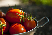 Sunlit ripe tomatoes — Stock Photo