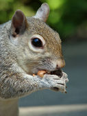 Grey squirrel eating a peanut — Stock Photo