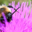 Bumblebee — Stock Photo #12174180