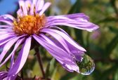 New England Aster — Stock Photo