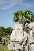 Black iguana — Stock Photo