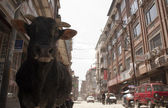 Cow on the streets of Kathmandu — Stock Photo