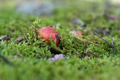 Close-up of Mushroom in a Forest — Stock Photo