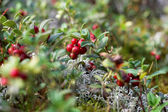 Close-up of cranberries in the forest — Stock Photo