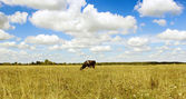 A cow grazes in the field — Stock Photo