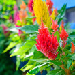 Colorful cockscomb flowers in garden — Stock Photo