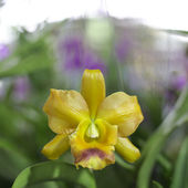 Yellow orchid — Stock Photo