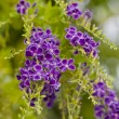 Golden Dew Drop, Pigeon Berry, Sky Flower ( Duranta erecta ) — Stock Photo