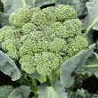 Broccoli — Stock Photo #35089005