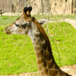 Giraffe is eating leaves in a zoo — Stock Photo