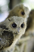 Close up of a baby Tawny Owl — Stock Photo