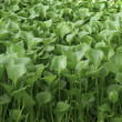 Stock Photo: Water Hyacinth