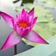 Pink lotus flower blossom in green basin — Stock Photo #35677569